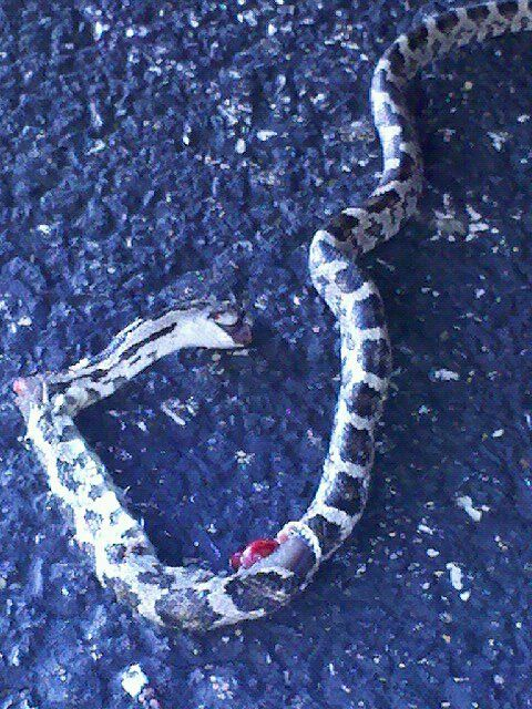 This is the last 'pet' I found climing up my back door at work.  Okay I am an animal lover, but after I learned that this was a rattle snake, he was stomped to death by my secretary in her high heeled shoes.  Poor lil fella.. Guess he should have chosen a different location for a new home!