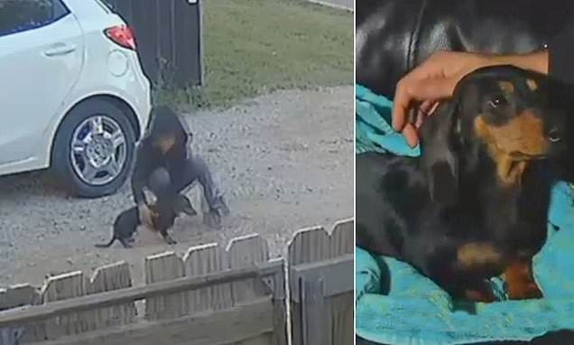 Child Filmed Brutally Beating Oklahoma Family S Dachshund Puppy