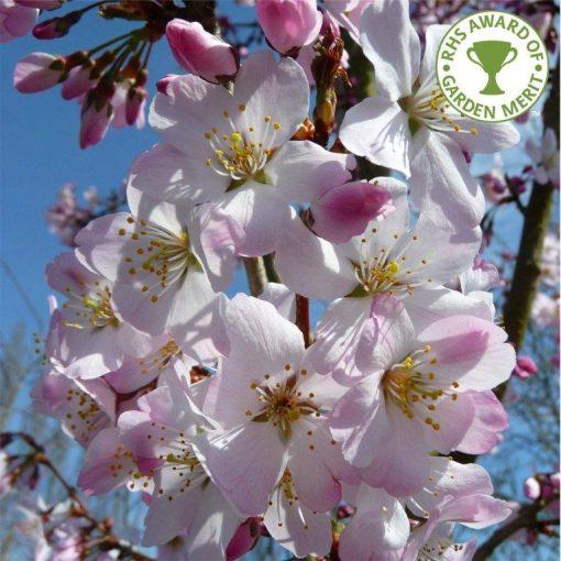 Prunus Pandora Thorpe Trees Flowering Cherry Tree Blossom Trees Cherry Blossom Tree