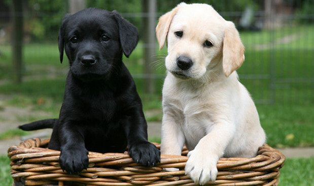 Cruzamento De Labrador Com Golden Retriever Cruzamento De Labrador
