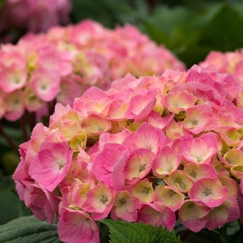 Let S Dance Big Easy Reblooming Hydrangea Hydrangea Macrophylla Easy Hydrangea Reblooming Hydrangeas Planting Hydrangeas