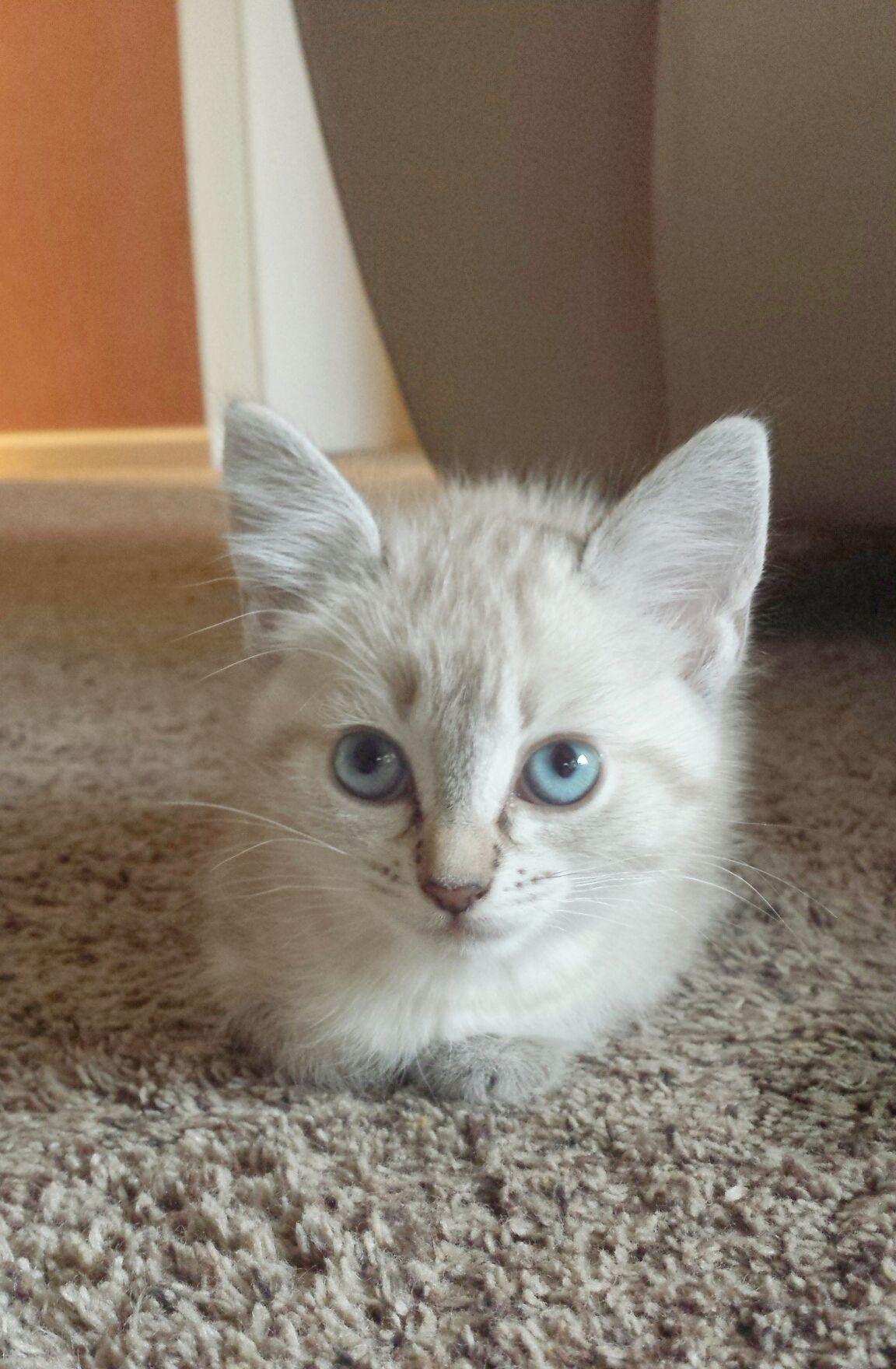 Cream puff kittens cutest foster kittens kittens
