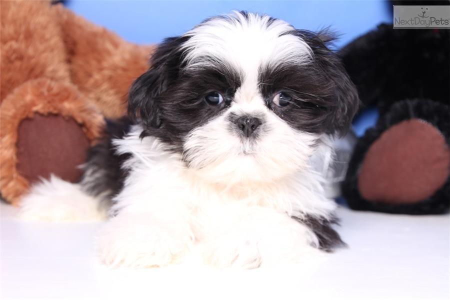 Meet Bandit A Cute Shih Tzu Puppy For Sale For 499 Bandit Male Aca Shih Tzu Shih Tzu Puppy Shih Tzu Shih Tzu For Sale