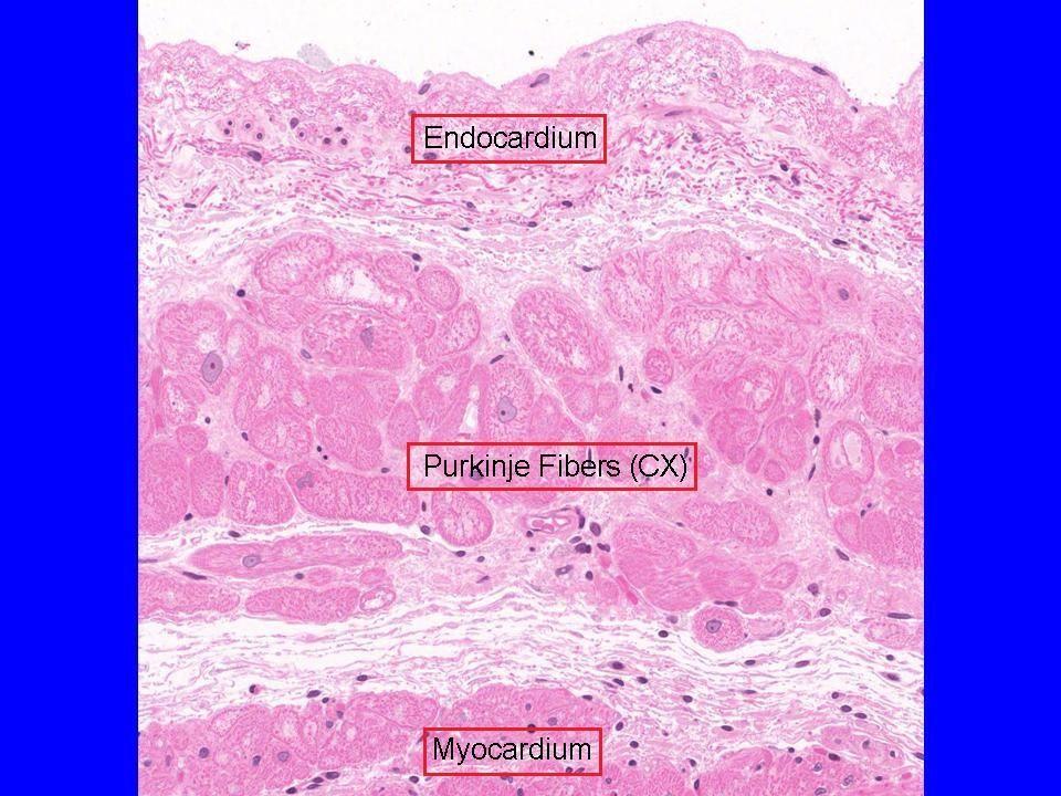 Arterioles, venule, capillary   Blood vessel histology   Pinterest ...