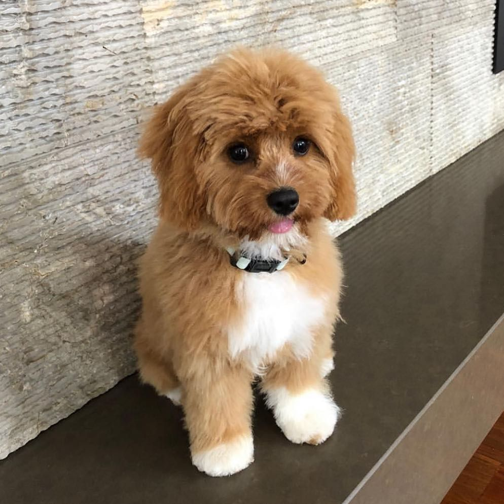 Cavoodle Puppies Australia On Instagram One Of Our Puppies Living In Melbourne With Her New Pawrents Looking Cute After A Haircut Cat Day Puppies Dog Love