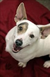 Gustus Mccrae Is An Adoptable Jack Russell Terrier Dog In