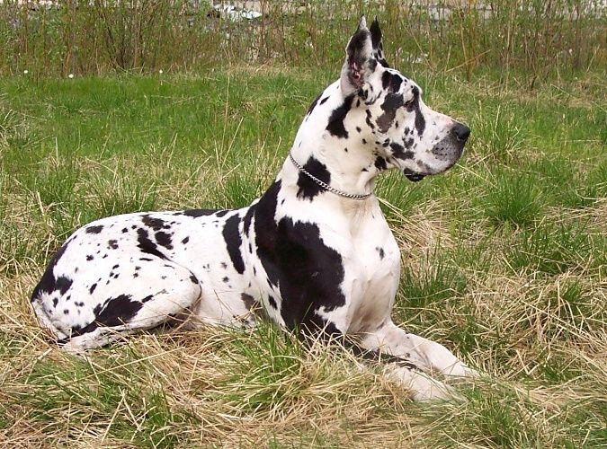 Garmonija Severa Kennel Greatdane Ru Great Dane Dogs Dane