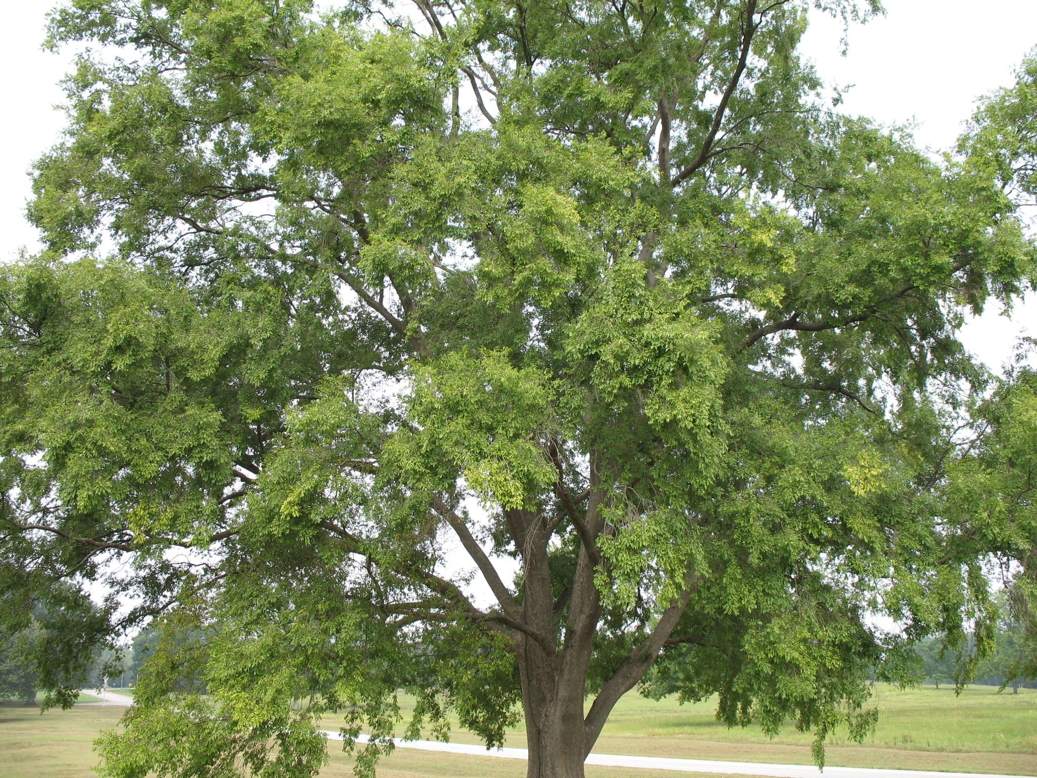 Ulmus Parvifolia Drake Ulmus Parvifolia Drake Onlineplantguide Com 9260 Fast Growing Shade Trees Shade Trees Fast Growing Trees
