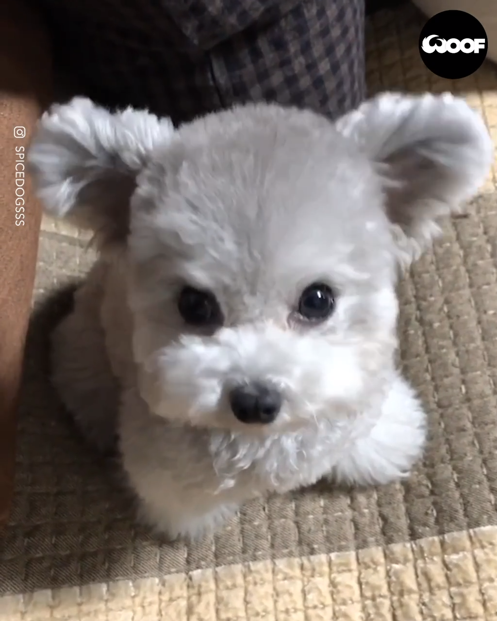 Photo of Adorable mini cachorro de caniche plateado parece un oso de peluche