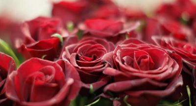 Nama Latin Bunga Mawar Merah Mudanama Latin Bunga Mawar Putihnama Latin Bunga Mataharinama Latin Bunga Mawar Hitambunga Mawar Dan Nama Latinnyanama
