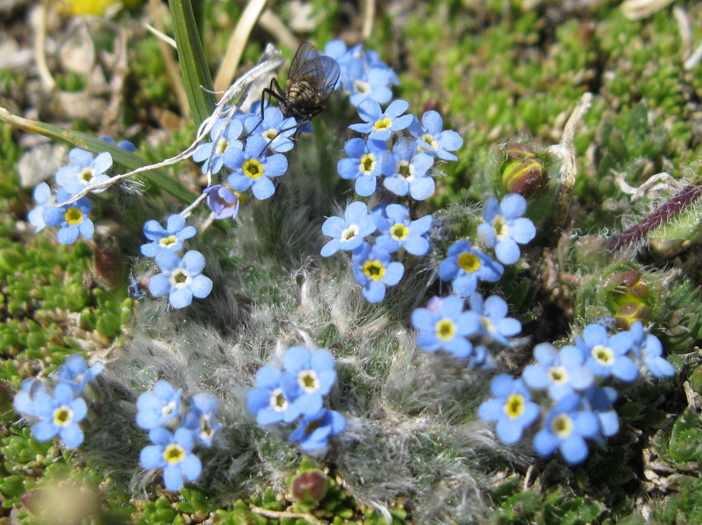 tundra biome plants Google Search Biomes, Wild flowers