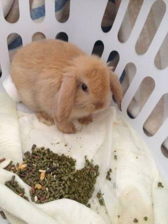 Yuma Lop Bunny Rabbit Months Old Craigslist Arizona In 2020 Bunny Rabbit Amazing Animal Pictures Rabbit