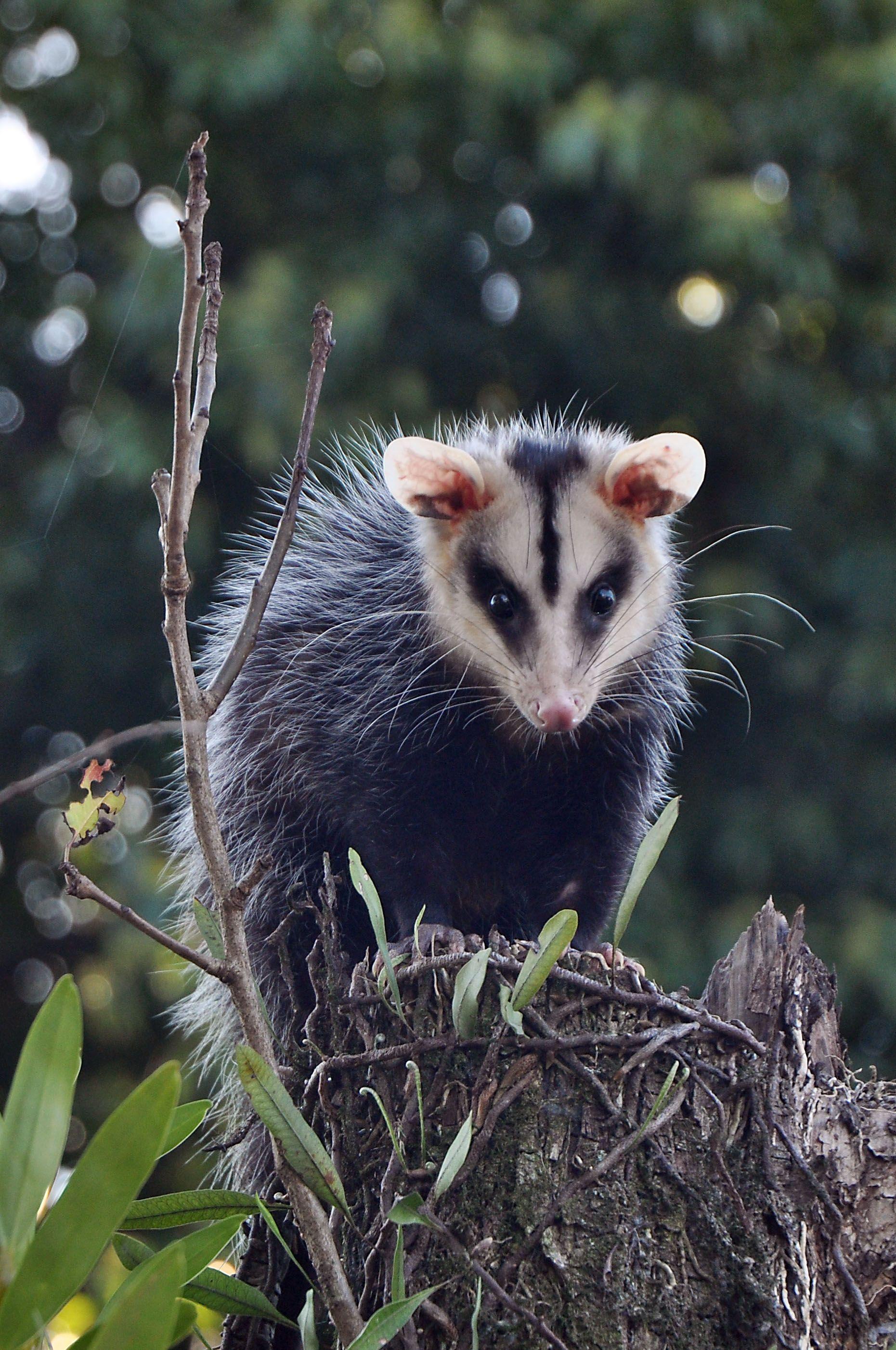 Opossum Com Imagens Animais Loucos Animais Raros Animais