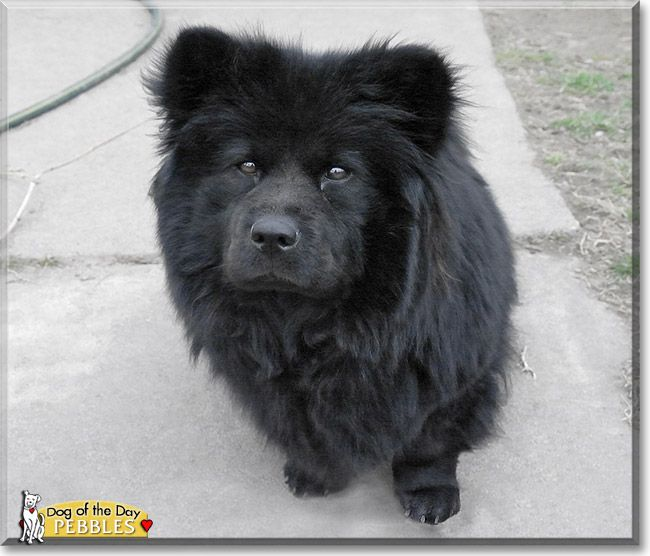 Pebbles The Dog Of The Day She Is A Chow Beagle Collie Mix I