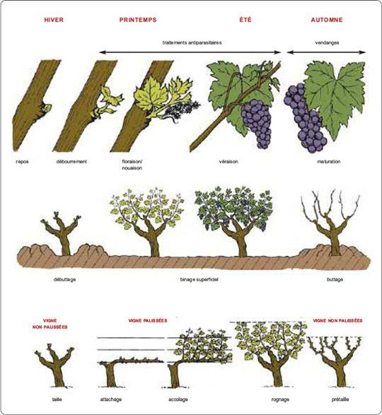 Travaux Vigne Calendrier.Le Calendrier Du Viticulteur Hachette Vins Com Les
