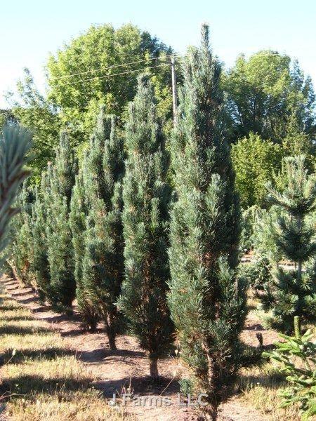 Pinus Sylvestris Fastigiata Scherm