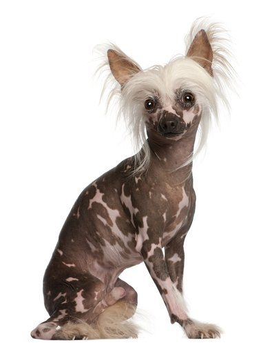 17 Small Dog Breeds That Are Good With Kids Rare Dog Breeds Dog Breeds Chinese Crested Puppy
