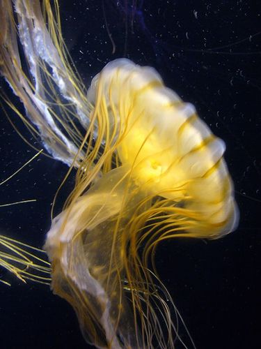 *Freshwater Jellyfish