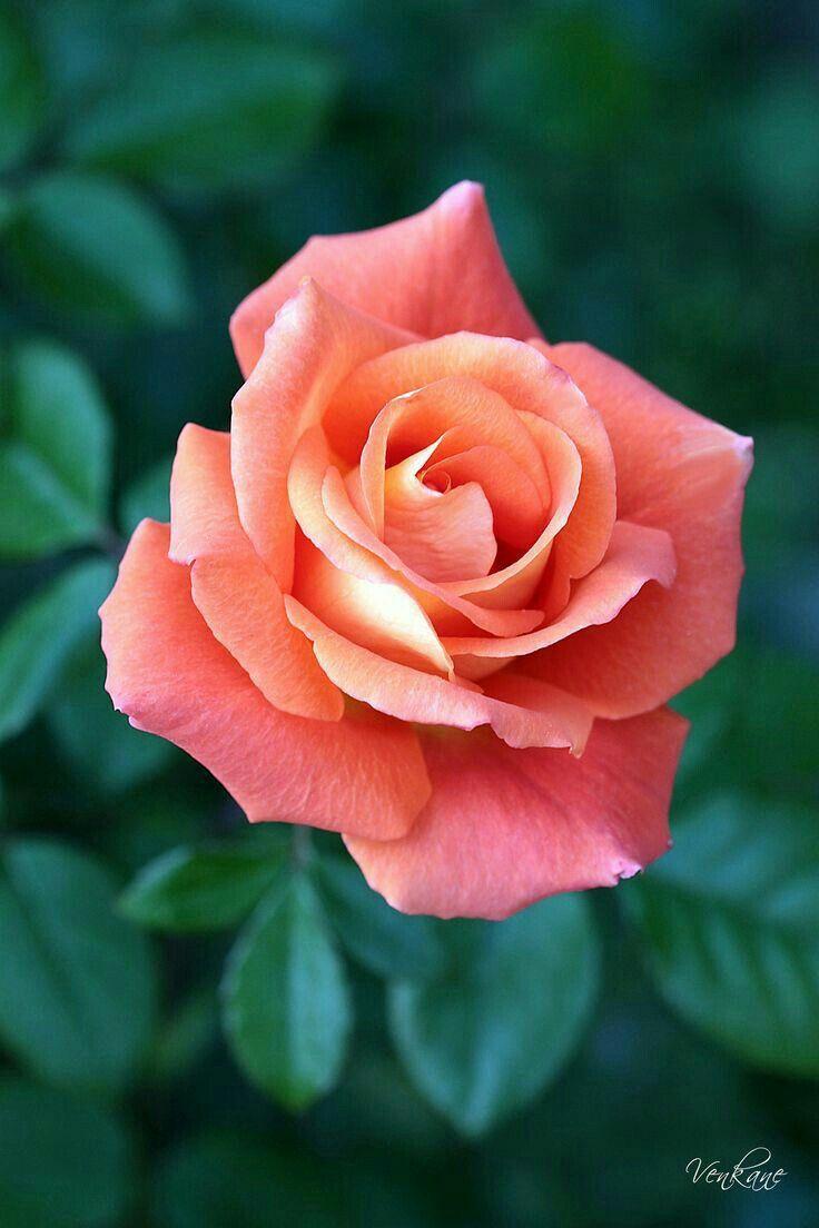Unidentified rose flowers etc pinterest rose flowers and flower unidentified rose beautiful rosesbeautiful flowers izmirmasajfo Choice Image