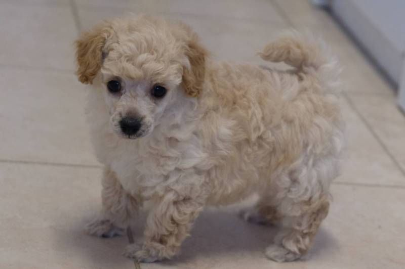Tiny Toy Poodle Puppies Toy Poodle Puppies Poodle Puppy Dogs
