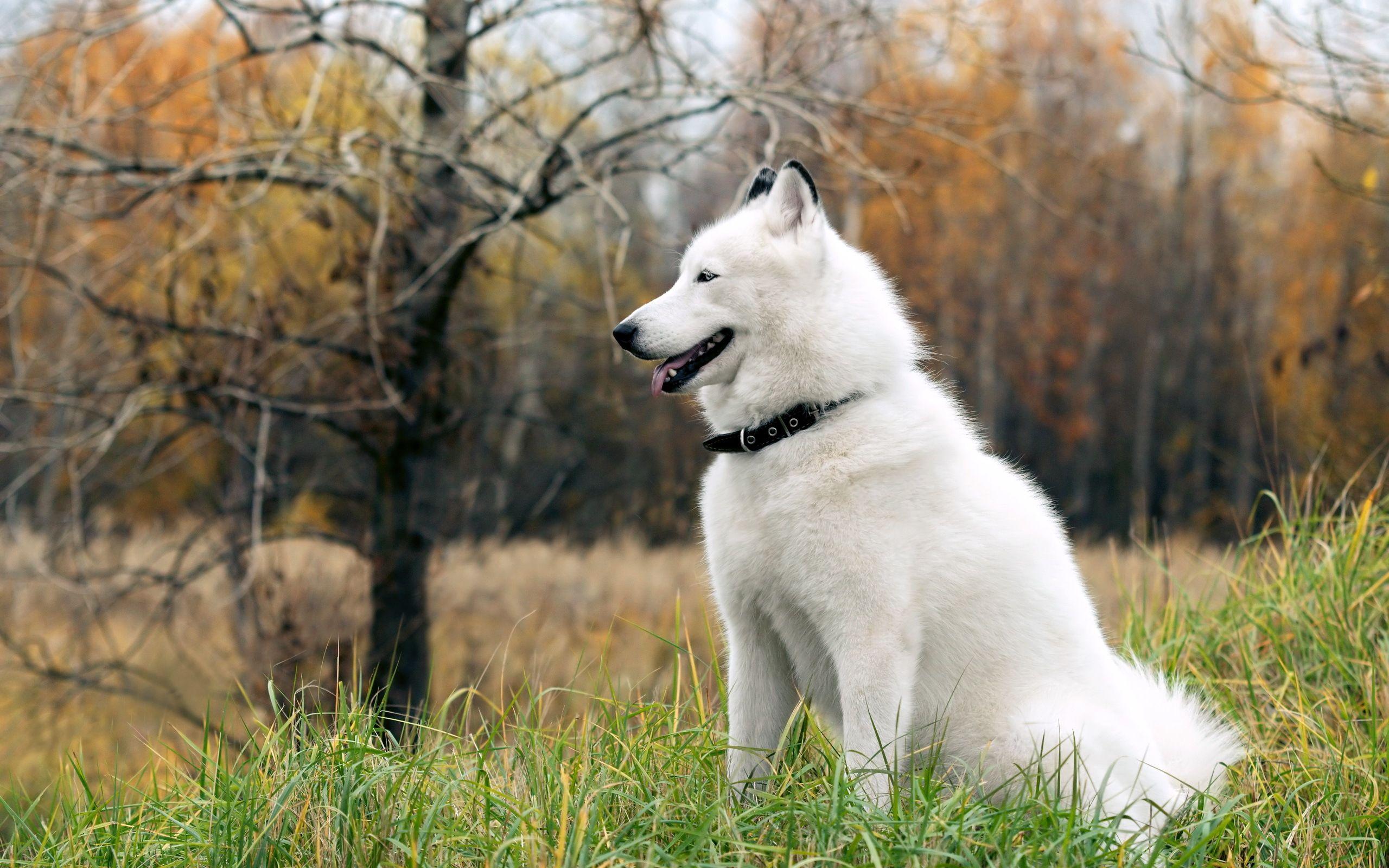 Hd wallpaper dog - White Husky Dog