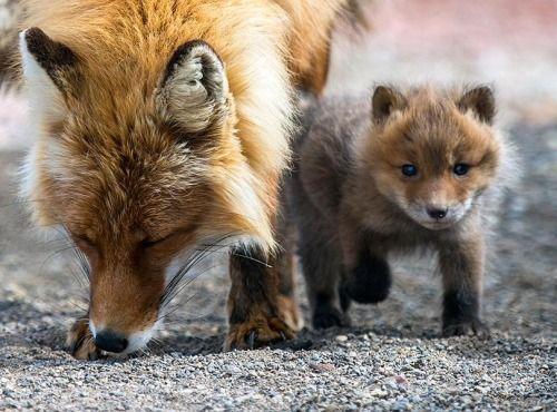 Mother fox  with KitbyIvan Kislov