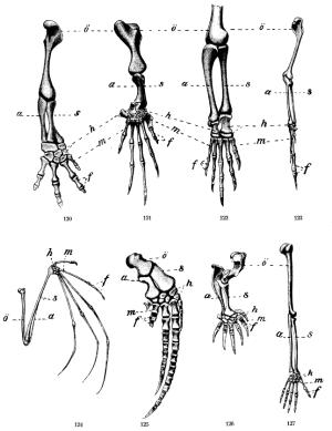 Homologous Structures Explain Animals' Places in Evolution
