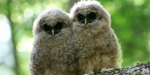 Take Action for the Northern Spotted Owl and Its Old-Growth Forest Habitat