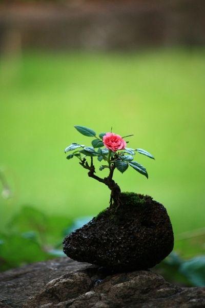Bonsai rose bonsai bonsai blumen y garten - Japanische gartenpflanzen ...