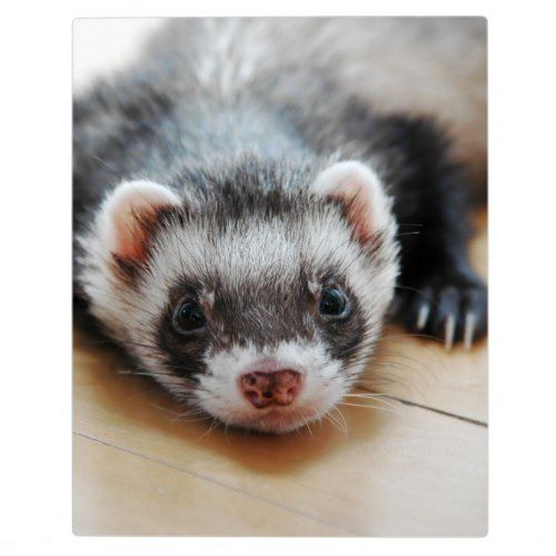 Sable Ferret Plaque Zazzle Com Ferret Cute Ferrets Ferrets Care