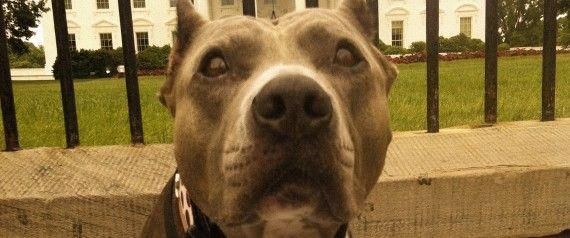 Obama Joins The Fight For Pit Bulls Pitbull Facts Pitbulls