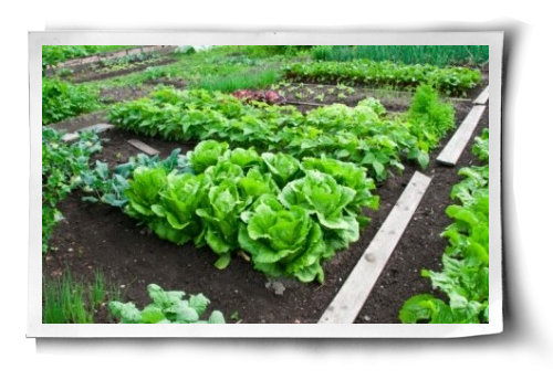 Kale: An Easy Beginner's Guide to Growing | Garden layout ... Companion Planting Kale