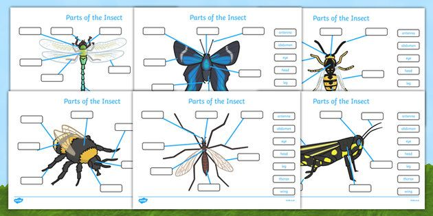 Parts of an Insect Labelling Worksheets - Insect, body parts