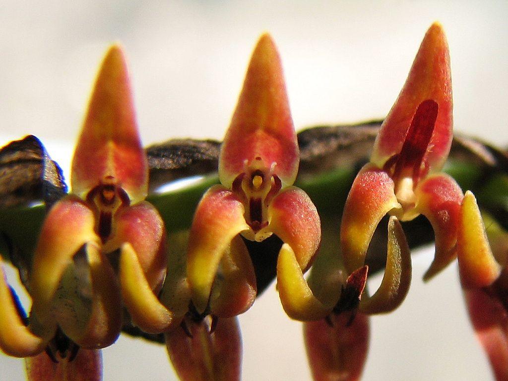 Bulbophyllum cochleatum var. bequaertii; by PiotrM