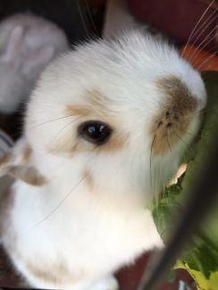 Baby Bunnies Rabbits For Sale Rabbits Gumtree Australia Swan