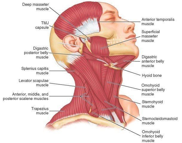 relieve tmjd and jaw pain plus tension headaches and neck pain, Muscles
