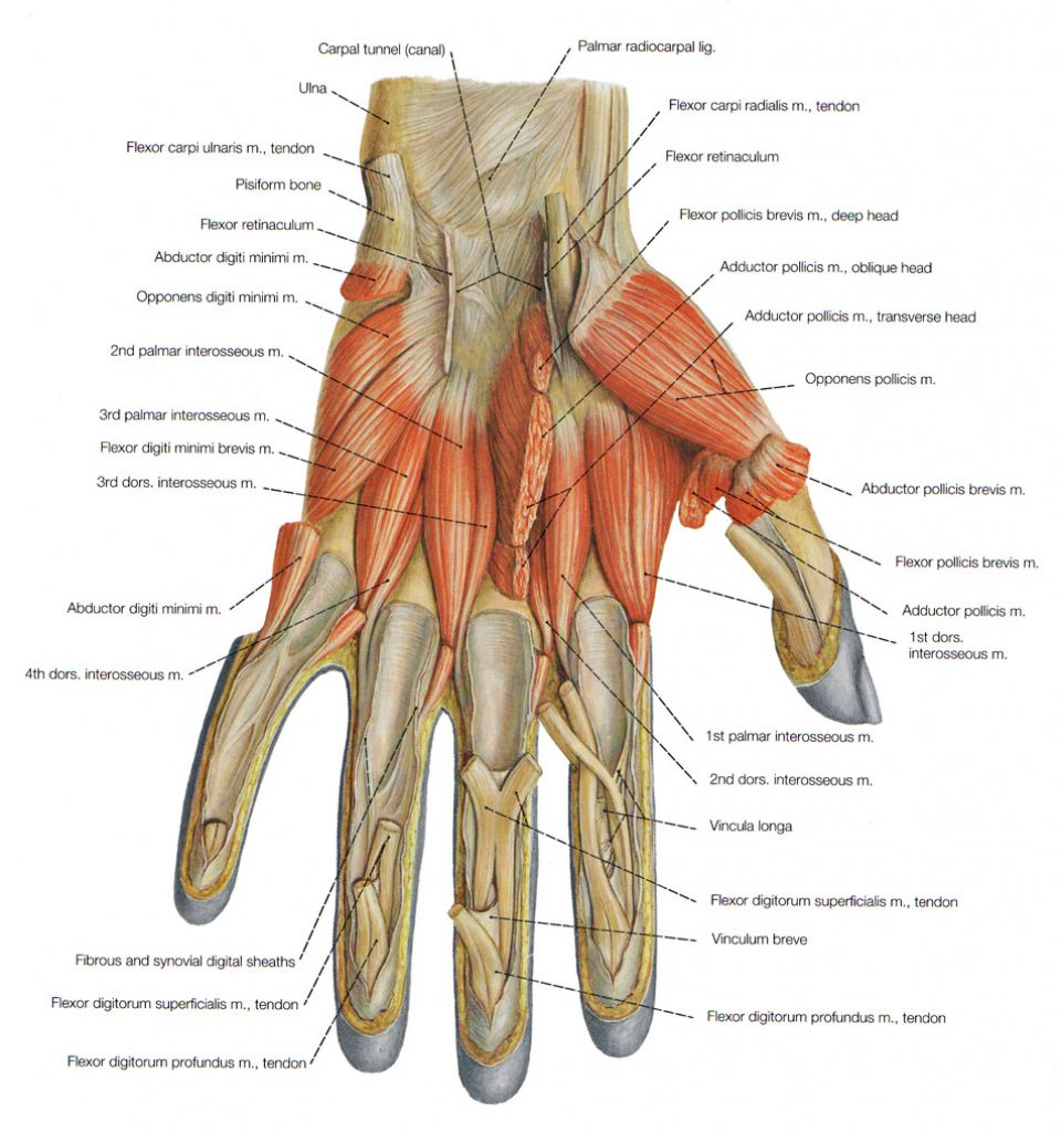 Anatomy Hand Muscles Hand Anatomy Muscles Ethy32bit Massnage