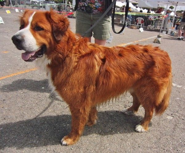 Dog Of The Day Melvin The Red Bernese Mountain Dog Bernese