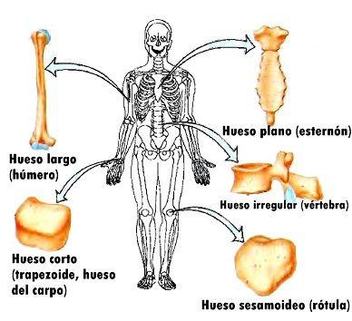 Tipos de huesos ~ Temas de estudio para la anatomía humana general ...