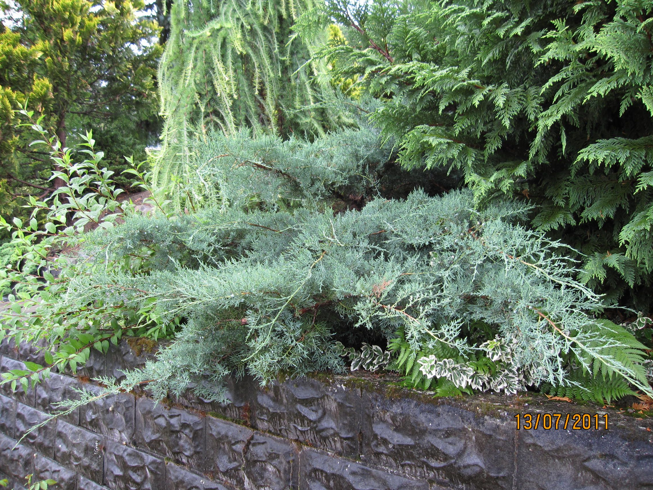 Medium Of Wichita Blue Juniper