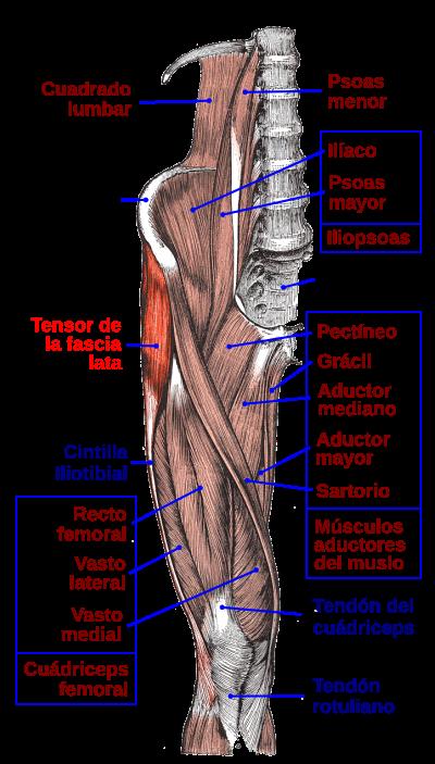 Musculo Tensor De La Fascia Lata Wikipedia La Enciclopedia Libre Musculos Del Cuerpo Humano Cuerpo Humano Anatomia Musculos Del Cuerpo