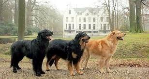 Hovawart Hovawart Hovawart Dog Hovawart Hund