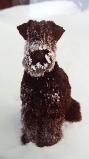 Kerry Blue Terrier Puppy Dog Puppies Hound Dogs Kerry Blue