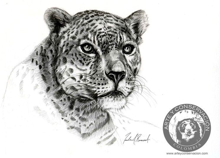 Art and Conservation Journal: Panthera onca. Jaguar, pencil drawing ...