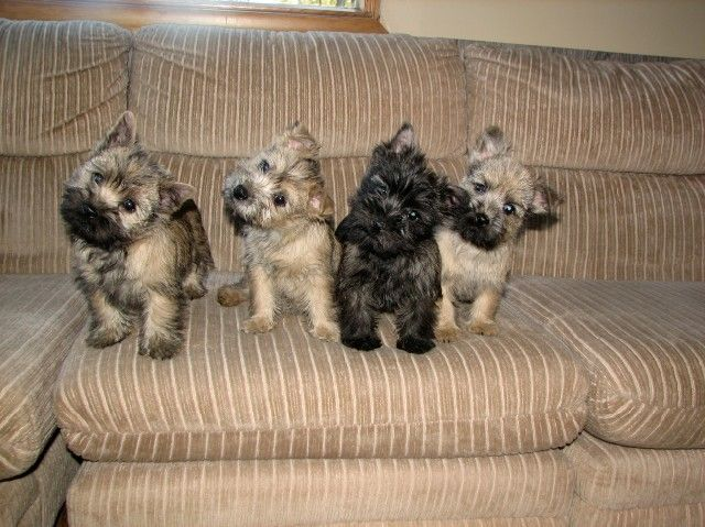 Pin On Cairn Terrier