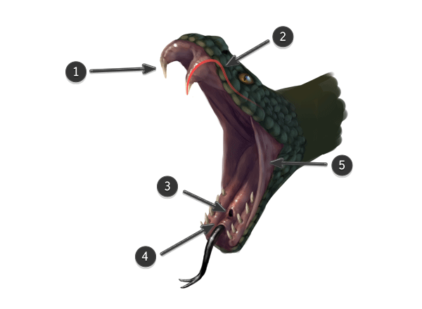 snake head anatomy | Oh you can draw? Can you draw me too ...