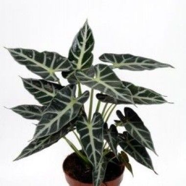 Alocasia oreille d 39 l phant house plants pinterest for Interieur oreille