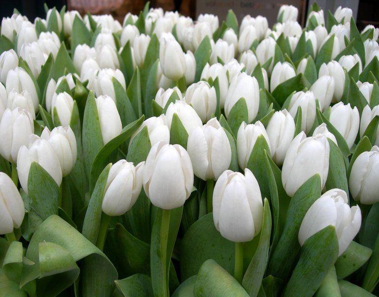 tulipanes blancos wallpaper