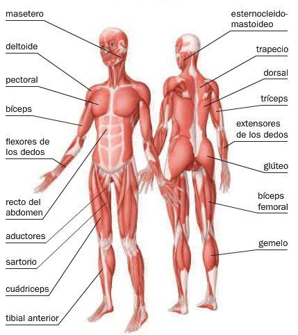 Sistema Muscular Buscar Con Google Educacao Fisica Anatomia Muscular Anatomia Corpo Humano