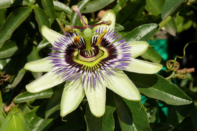 Passiflora Incarnata I Love Homeopathy Passiflora Caerulea Passiflora Flowers For Algernon